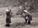 обрезка яблонь на Беле, 1969 г.